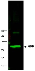 NB600-308 - GFP