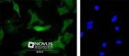 NB600-302 - c-Myc Epitope Tag (EQKLISEEDL)