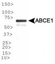 NB400-116 - ABCE1