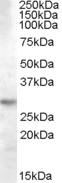 NBP1-06008 - 14-3-3 protein theta