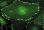 NB600-336 - c-Myc Epitope Tag (EQKLISEEDL)