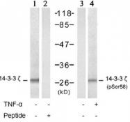 NB100-81766 - 14-3-3 protein zeta/delta