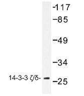 NB100-92268 - 14-3-3 protein zeta/delta