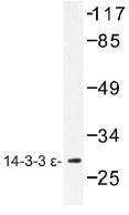 NB100-92415 - 14-3-3 protein epsilon