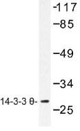 NB100-92417 - 14-3-3 protein theta