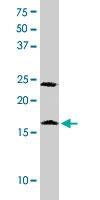 PAB0003 - Histone H2A.x