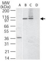 PAB0148 - CD290 / TLR10