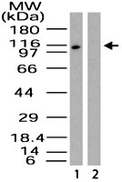 PAB0154 - RanBP9 / Importin-9