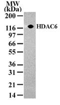 PAB0183 - HDAC6