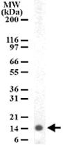 PAB0185 - Histone H2A type 3