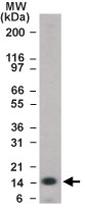 PAB0186 - Histone H2B type 3-B