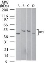 PAB0188 - Serotonin receptor 7 (HTR7)