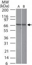 PAB0224 - Interleukin-23 receptor / IL23R