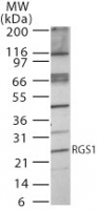 PAB0233 - RGS1