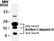 PAB0244 - Caspase-6