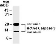 PAB0245 - Caspase-7