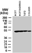 PAB0282 - IAP3 / BIRC4