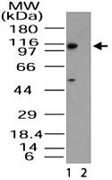 PAB0291 - RanBP11 / Importin-11