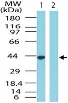 PAB0306 - GPR65 / Psychosine receptor