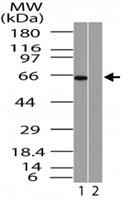 PAB0312 - RELA / NF-kB p65
