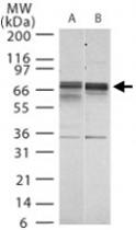 PAB0339 - Lamin-B1 (LMNB1)