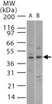 PAB0372 - MAP kinase p38 beta / MAPK11