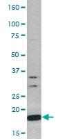 PAB0481 - Histone H3.1