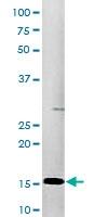 PAB0484 - Histone H3.1