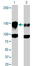 PAB0505 - CD309 / VEGFR-2 / Flk-1