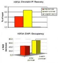 PAB0650 - Histone H3.3