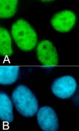 PAB0651 - Histone H3.3