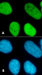 PAB0652 - Histone H3.3