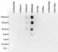 PAB0654 - Histone H3.3