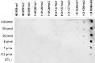 PAB0656 - Histone H3.3