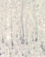 PAB0709 - Neurotrophin 4 / NTF4