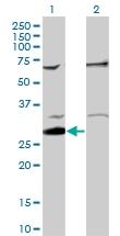 PAB0779 - RELA / NF-kB p65