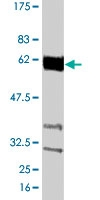 PAB0818 - Cyclin B1