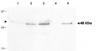 PAB10042 - Cyclin B1