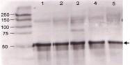 PAB10092 - Angiopoietin-3