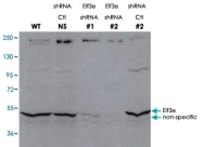 PAB10203 - EIF3E / EIF3S6