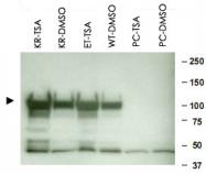 PAB10218 - HSP90AA1 / HSP90 alpha