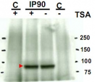 PAB10219 - HSP90AA1 / HSP90 alpha