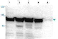 PAB10281 - Myosin-Ig