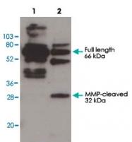 PAB10297 - Osteopontin / SPP1