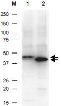 PAB10339 - 6xHistidine Epitope Tag