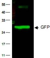 PAB10342 - GFP