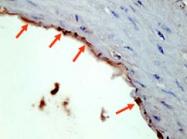 PAB10343 - HA Epitope Tag (YPYDVPDYA)