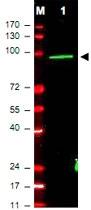 PAB10345 - c-Myc Epitope Tag (EQKLISEEDL)