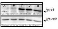 PAB10351 - Phosphoserine