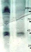 PAB10352 - Phosphothreonine